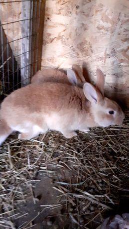 Кролики різновидні