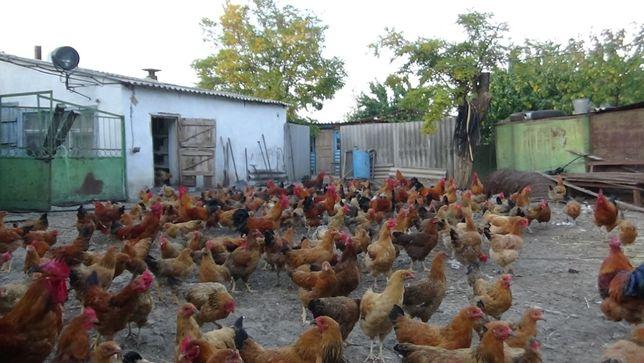 Яйцо инкубационное. Цыплята суточные породы Кучинская Юбилейная