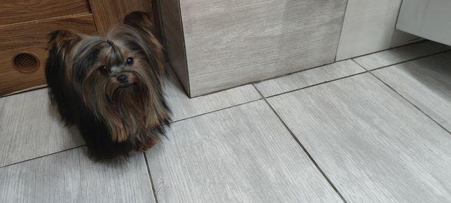 Yorkshire terrier Miniaturka SUCZKA