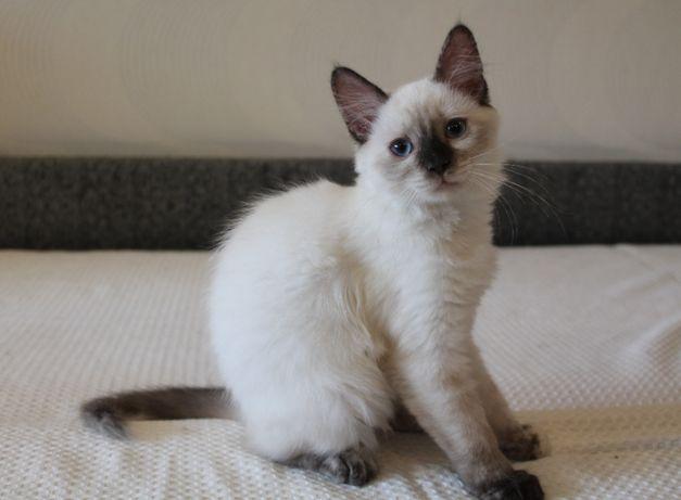 Котенок девочка сиамского окраса 5 мес