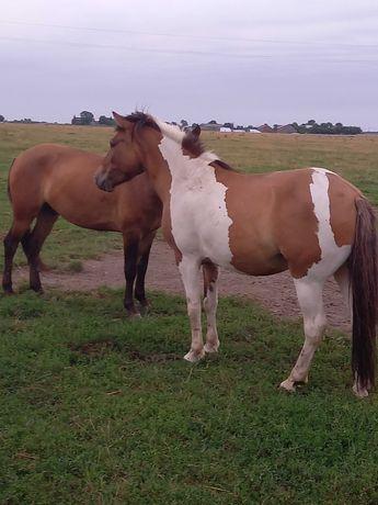 Dzierżawa konia , koni hucuły wałachy