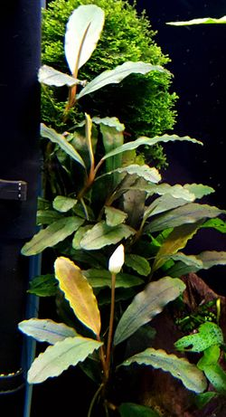 Bucephalandra aegis - roślina akwariowa