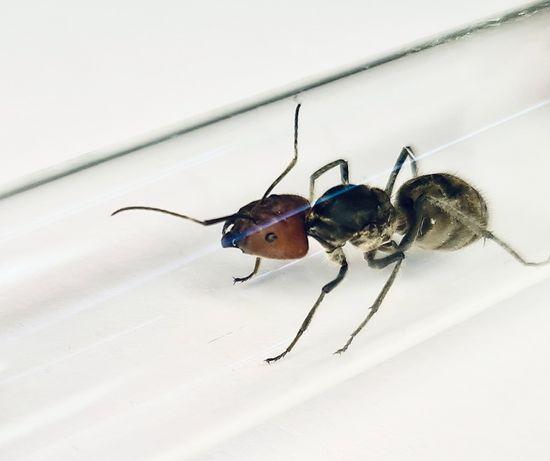 Camponotus singularis Mrówki do Formikarium