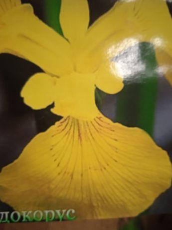 ирис болотный(псевдокорус)