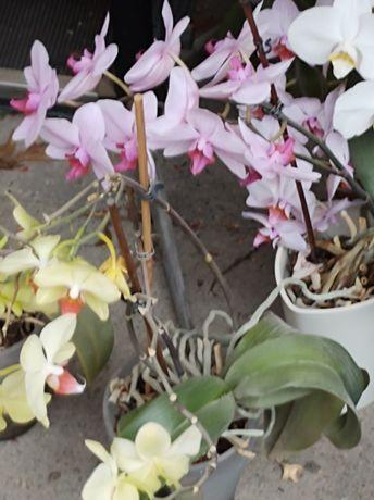 Storczyk fioletowy