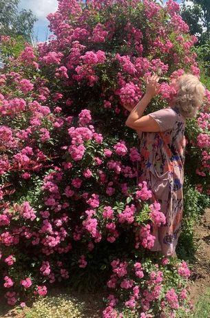 розы  Фейри, Мери роуз, Амадеус, гортензии