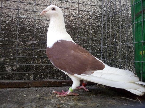 Gołębie Śląski Tarczowy Czerwony Samiec Wysyłka