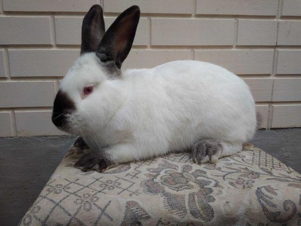 Калифорнийский кролик самец
