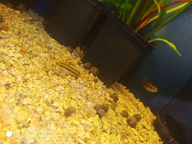 Rybki akwariowe barwnika czerwonobrzychy