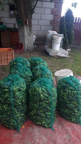 Sprzedam ogorki ekolg.
