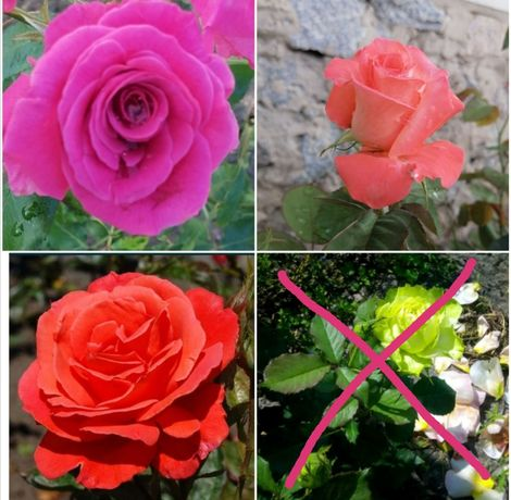 Роза саженцы чайно гибридных роз чайно-гибридная роза