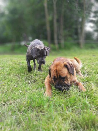 Cane corso pies i suczka