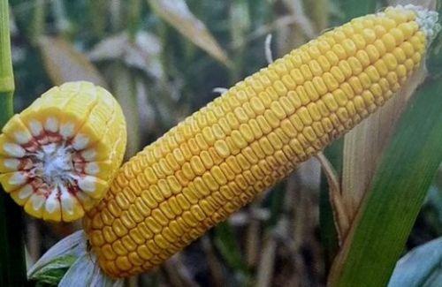Насіння кукурудзи Хотин ДБ ФАО 280
