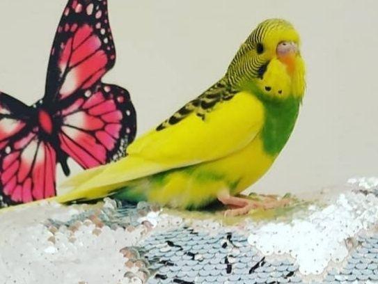 Хвилясті папужки, звичайні та чехи, ручні викормиші, вчити розмовляти