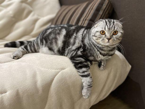 Шотландский вислоухий кот ищет невесту