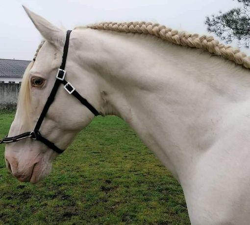 Cavalo Isabel puro sangue lusitano