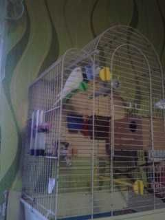sprzedam papużki faliste