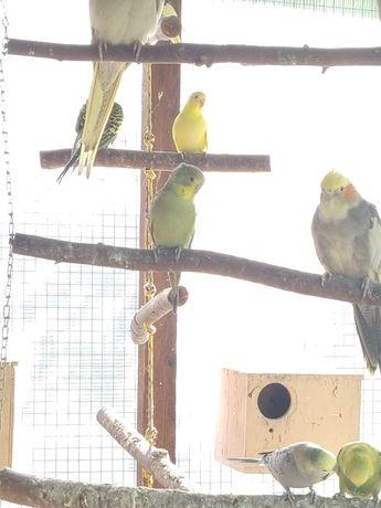 Papuga falista samiec młody