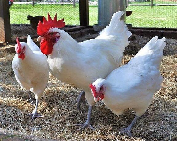 Курочки несушки Бройлер Индюшата куры цыплята Доминант