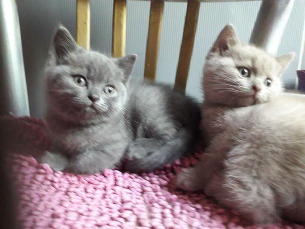 Brytyjskie kociaki