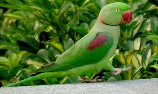 Vendo aves (ring neck) e grande alexandrino