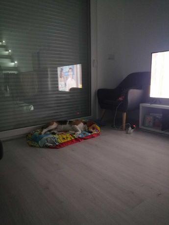 Dou Beagle com 2 anos
