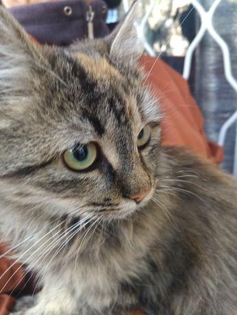 Котенок Мелиса стерилизованный