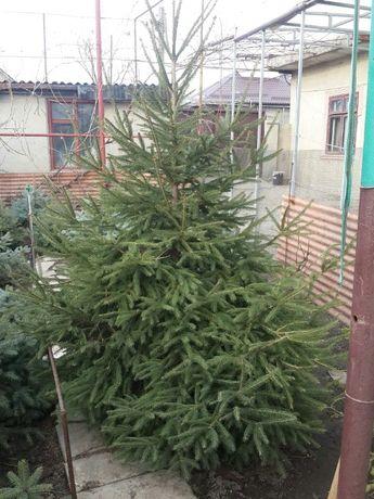 Ель новогодняя, живая и голубая ель. Высота более 3-х метров.Красавицы