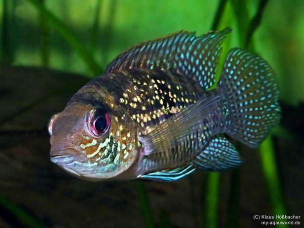 Akara błękitna - Andinoacara pulcher - Młode