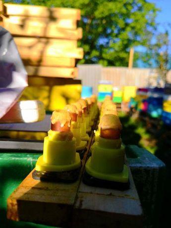 Пчелиные матки Первый вывод. Скленар (Sklenar) 47/G/10. Carnica
