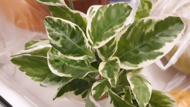 Цветы педилантусы бересклет форчуна