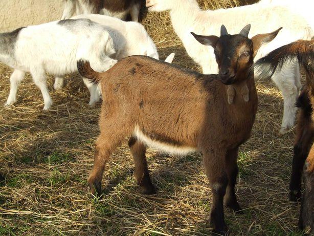 Koziołek rozpłodowy mleczny alpejsko anglonubijski 2,5 miesięczny kozy