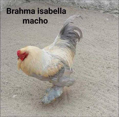 Galinhas de raça brahma /orpington