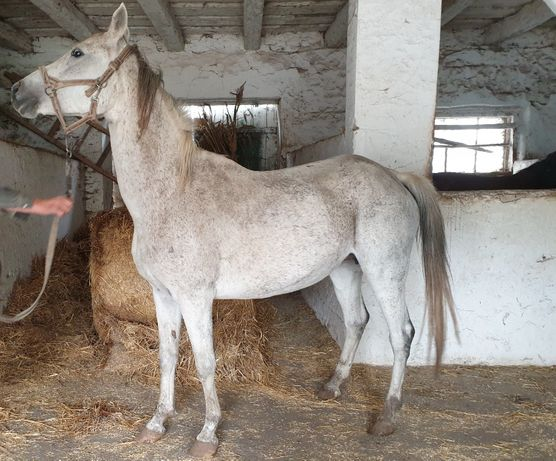 Кінь, кобила чистокровної арабської породи Чистокровний араб