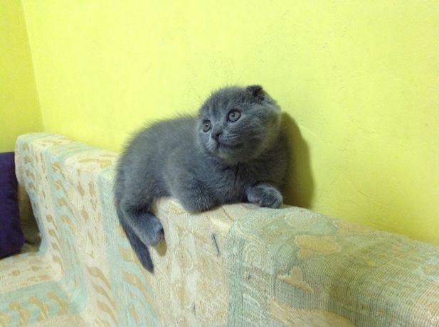 Шотладские котята, котенок ( scottish fold) вислоухий мальчик