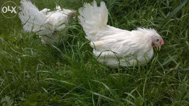 Młode kury nioski Leghorn sprzedam - dowóz cały kraj GRATIS