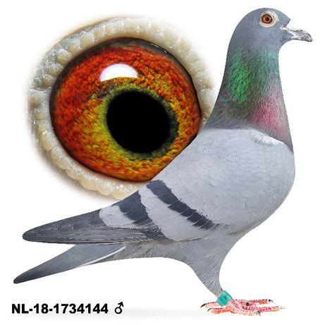 Młode 2021 Para nr 6 , A. Pierre Faes Inbred gołąb gołębie pocztowe