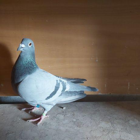 Gołąb pocztowy niebieski