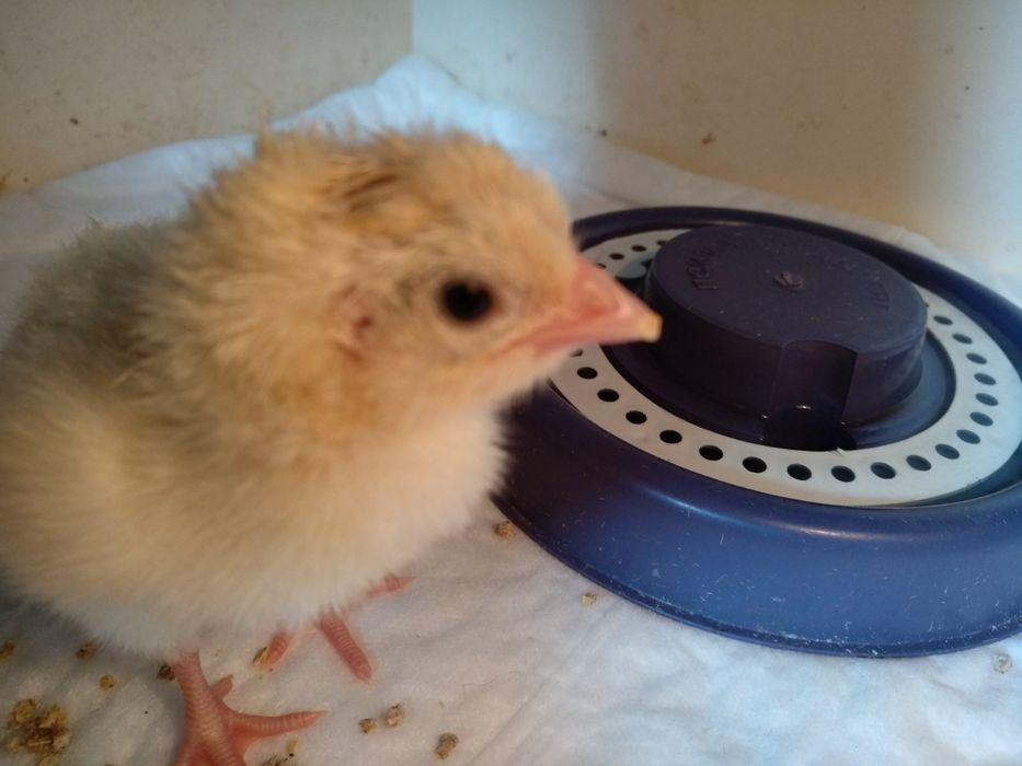 Инкубационное яйцо броллера Лесопитомник - изображение 1