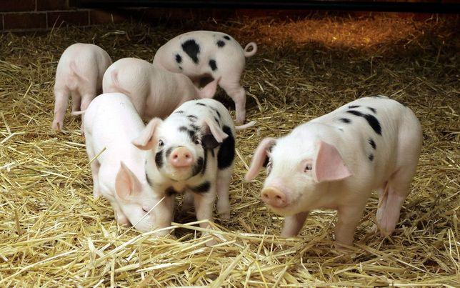 Продаються свинки!!!