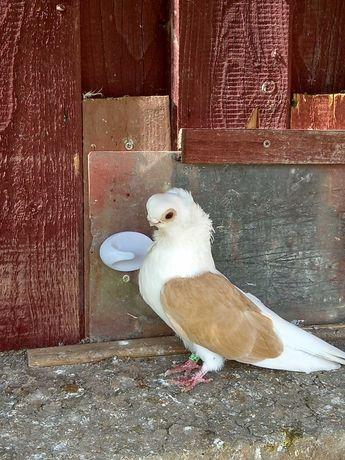 Gołębie ozdobne- Mewek żółty