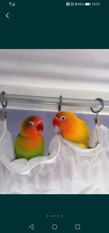 Papuga falista nimfa