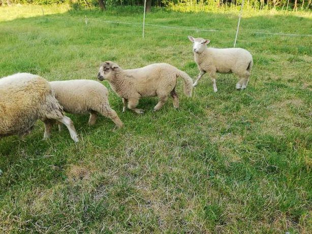 Sprzedam owce 4sztuki
