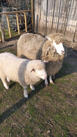 Sprzedam małe stado owiec