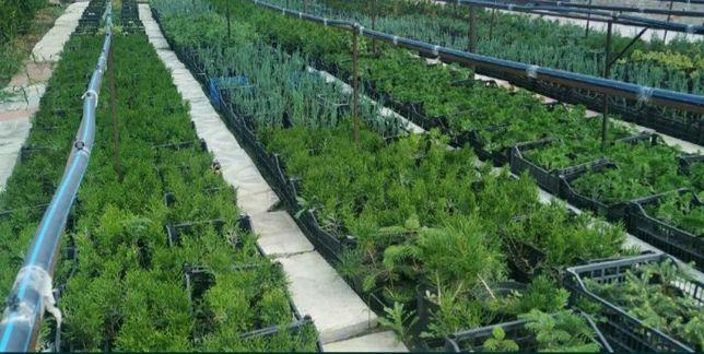Хвойные растения смарагд блю арроу коника ель туя можжевельник