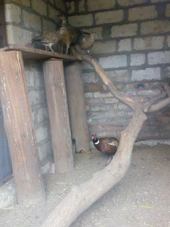 Продам семьи охотничьего фазана