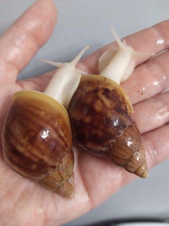 Ślimak afrykański, achatina, Lissachatina fulica albino body wysylka