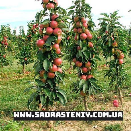 Саженцы различных плодовых деревьев от колоновидных до среднерослых