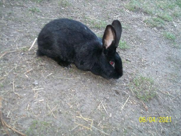 Sprzedam ZWIERZĘTA króliki