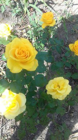 Саженцы роз.ЧайныеПлетистые.Парковые.Бордюрные